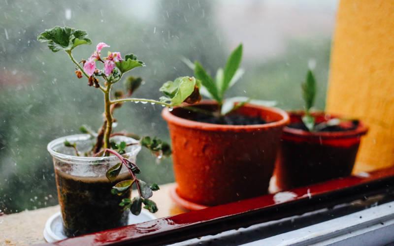 amankan tanaman